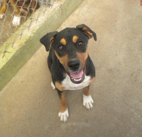Displaying (20) Gallery Images For Boxer And Rottweiler Mix...