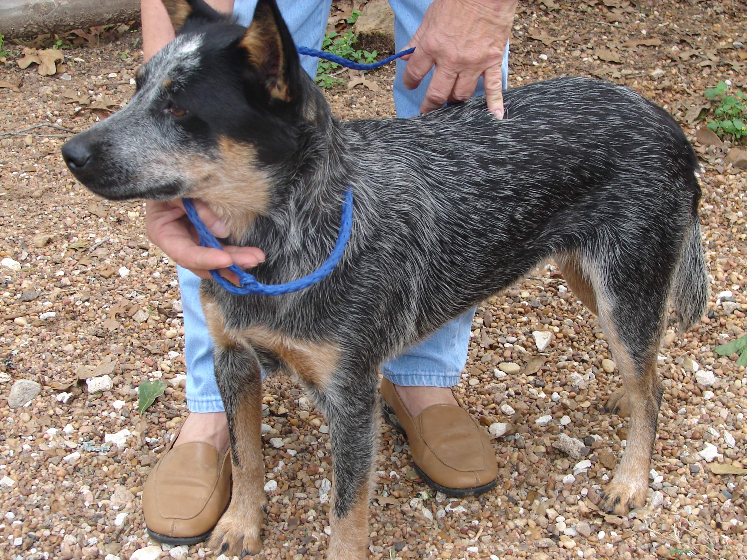 Xena is a 1 year old queens blue heeler who now has a loving home.